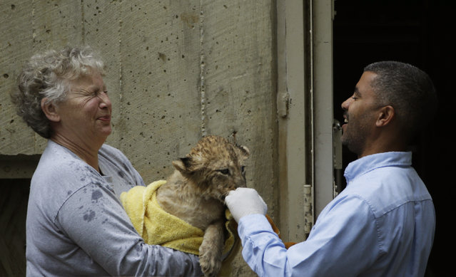 Smithsonian National Zoo animal keeper Marie Magnuson (L) and zoo curator of cats Carig Saffoe (R) are sprayed by a female lion cub after its swim test in the zoo habitat moat, in Washington May 6, 2014. Four, unnamed ten-week old lion cubs were tested today for their ability to swim and remove themselves from their zoo habitat moat. (Photo by Gary Cameron/Reuters)