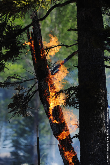A tall Ponderosa Pine tree burns in the forest around the Lee Valley Recreational area in the Apache National Forest during back burn operations as the Wallow Fire continues to burn