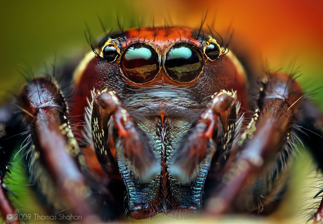 Adult Male Thiodina puerpera Jumping Spider