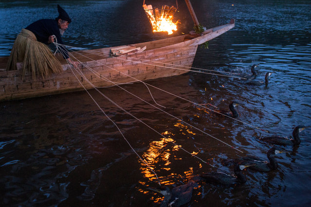 """A cormorant master prepares his sea cormorants for the nights """"Ukai"""" on July 2, 2014 in Gifu, Japan. In this traditional fishing art """"ukai"""", a cormorant master called """"usho"""" manages cormorants to capture ayu or sweetfish. The ushos of River Nagara have been the official staff of the Imperial Household Agency of Japan since 1890. Currently six imperial fishermen of Nagara River conduct special fishing to contribute to the Imperial family eight times a year, on top of daily fishing from mid-May to mid-October. (Photo by Chris McGrath/Getty Images)"""