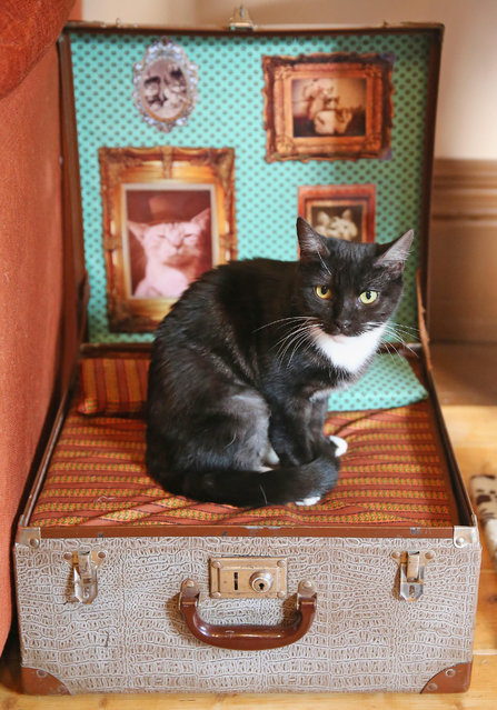 A cat sits in a box at Cat Cafe Melbourne on July 25, 2014 in Melbourne, Australia. Cat Cafe Melbourne is Australias first cat cafe. The cafe has several cats from rescue shelters which live at the premises. Patrons can watch and play with the cats while enjoying a coffee. Cat Cafes are becoming known world wide, the first opening in Taiwan in 1998. (Photo by Scott Barbour/Getty Images)