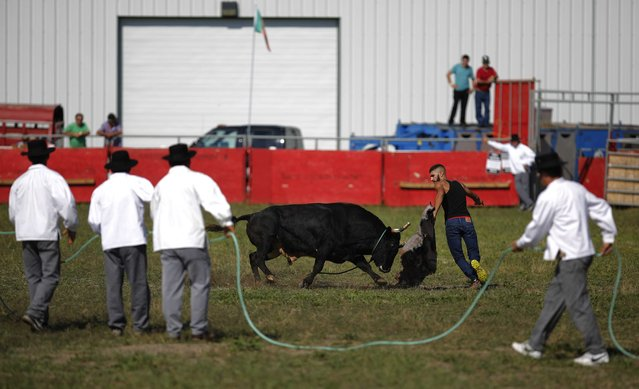 """A fighting bull chases a Portuguese-Canadian matador during an Azorean """"tourada a corda"""" (bullfight by rope) in Brampton, Ontario August 15, 2015. (Photo by Chris Helgren/Reuters)"""