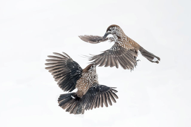 Combat between spotted nutcracker in snow in the Alps in Italy. (Photo by Paolino Massimiliano Manuel/Alamy Stock Photo)
