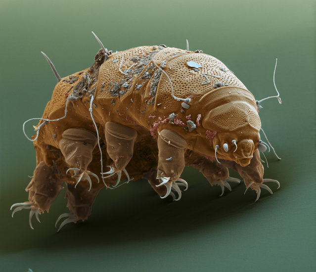 "Tardigr E granul 700x. This ""Water bear"" (Tardigrade) is an animal which is built only on a few hundred cells. It lives in moss and ""awakes"" when the moss gets wet. It feeds on moss by sucking the cells off. If the moss fells dry, Water Bears encapsule themselfes, if necessary for years to wait for the next rain. (Photo by FEI Company)"