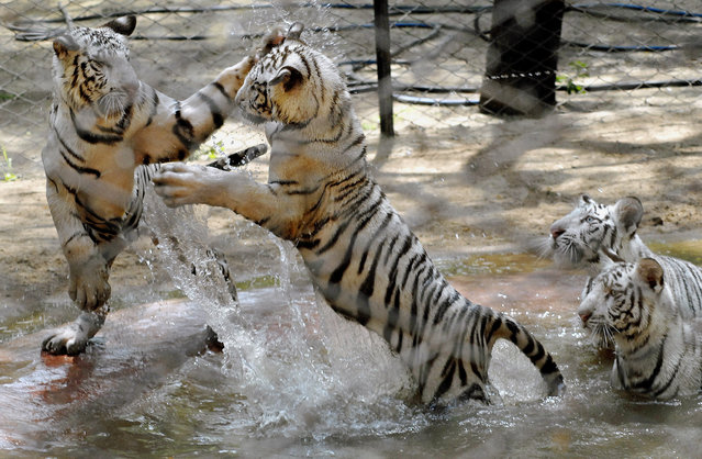 White tigers play in a pond at Nehru Zoological Park in Hyderabad April 27, 2007. (Photo by Krishnendu Halder/Reuters)
