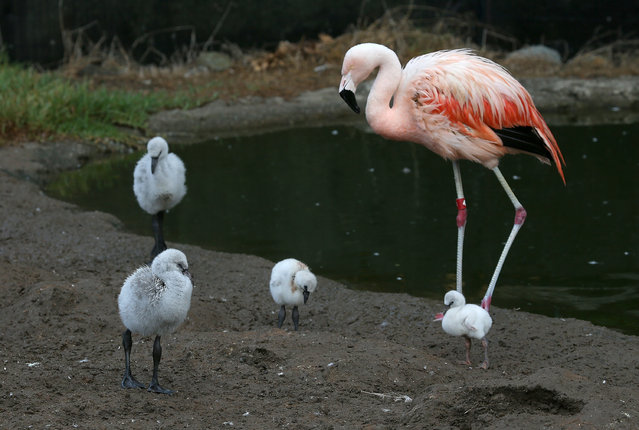 Four newborn Chilean Pink Flamingo chicks walk in their enclosure at the San Francisco Zoo on September 25, 2014 in San Francisco, California. The San Francisco Zoo is welcoming four newborn Chilean Flamingo chicks to the Flamingo rookery. (Photo by Justin Sullivan/Getty Images)