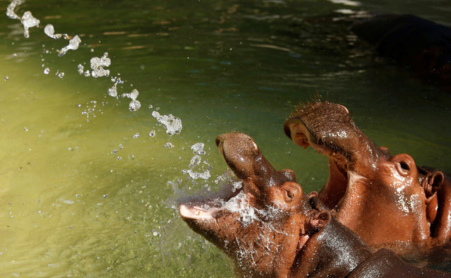 Two hippopotamuses reach for water sprayed in their enclosure during a summer day at the Los Angeles Zoo in Los Angeles, California U.S., August 13, 2016. (Photo by Mario Anzuoni/Reuters)