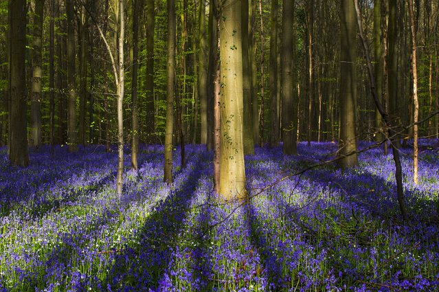 "Wild bluebells, which bloom around mid-April, turning the forest completely blue, form a carpet in the Hallerbos, also known as the ""Blue Forest"", near the Belgian city of Halle, Belgium April 17,  2016. (Photo by Yves Herman/Reuters)"