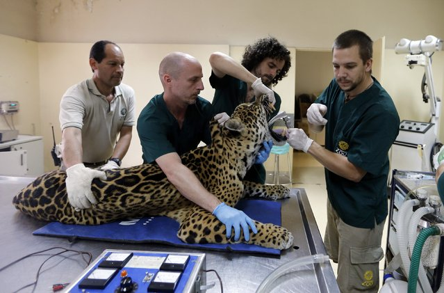 Veterinarians prepare Tango, an eleven-year-old male jaguar, for a full medical examination at the Buenos Aires Zoo October 27, 2014. Argentina's rare jaguar was added to Buenos Aires Zoo's DNA bank on Monday as conservationists step up efforts to save the big cat species that is on the brink of extinction. (Photo by Enrique Marcarian/Reuters)
