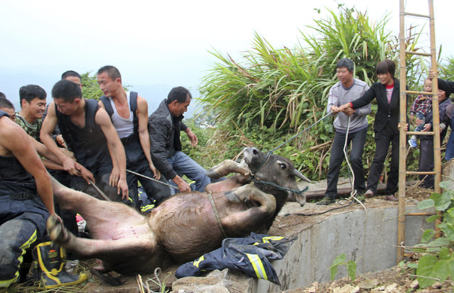 Firefighters and local farmers pull with ropes to rescue a buffalo that fell into a dried-up well in Cangnan county of Wenzhou, Jiangsu province, China, November 8, 2012. (Photo by Reuters/China Daily)