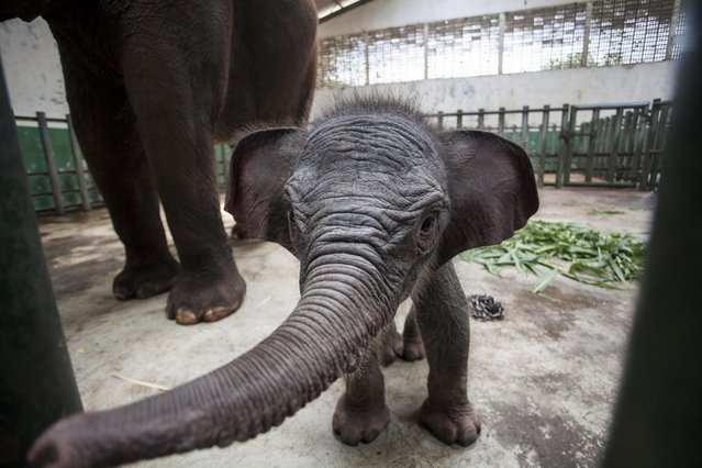 A seven-day-old female Sumatran elephant calf, stands with its mother at the Safari zoo in Pasuruan, East Java, 14 November 2014. According to reports, the smallest of the Asian elephants, Sumatran elephant (Elephas maximus sumatrensis) is facing serious pressures arising from illegal logging and associated habitat loss and fragmentation in Indonesia. The population has come under increasing threat from rapid forest conversion to plantations. (Photo by Fully Handoko/EPA)
