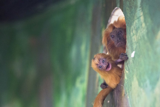 A golden lion tamarin monkey holds its newly born baby at a zoo in Jerusalem, Thursday, March 22, 2018. Golden lion tamarins are among the rarest animals in the world, according to the World Wildlife Fund. It is listed as endangered according to the International Union for Conservation of Nature. (Photo by Sebastian Scheiner/AP Photo)