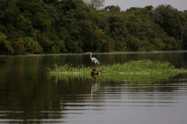 A heron is seen in the Mamiraua Sustainable Development Reserve in Uarini, Amazonas state, Brazil, March 7, 2018. (Photo by Bruno Kelly/Reuters)