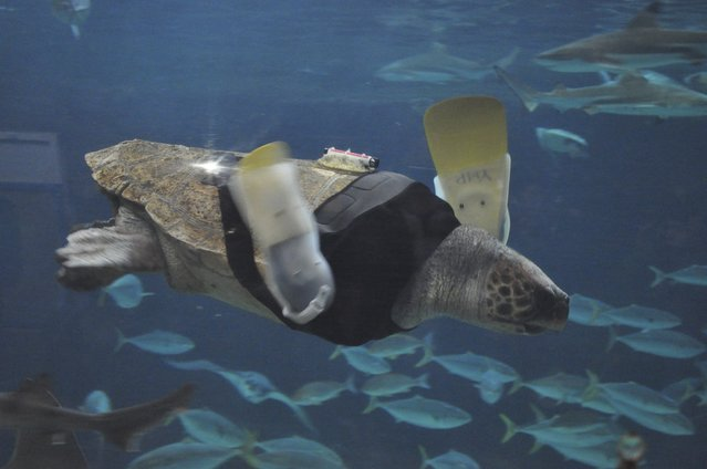 A 25-year-old female loggerhead turtle named Yu swims after receiving her 27th pair of prosthetic flippers at the Suma Aqualife Park in Kobe, western Japan February 11, 2013. Life looked grim for Yu, a loggerhead turtle, when she washed up in a Japanese fishing net five years ago, her front flippers shredded after a brutal encounter with a shark. Now keepers at an aquarium in the western Japanese city of Kobe are fighting to find a high-tech solution that will allow the 25-year-old turtle to swim again, with years of labours and 27 models of prosthetic fins behind them without success. (Photo by Reuters/Suma Aqualife Park)