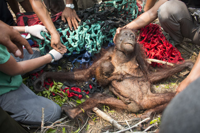 This handout photograph taken on October 14, 2015 and released on November 10 by International Animal Rescue shows a baby orangutan, Anti (centre L), holding onto her malnourished mother while being rescued in the village of Kuala Satong in West Kalimantan province. (Photo by AFP Photo/International Animal Rescue/Heribertus)