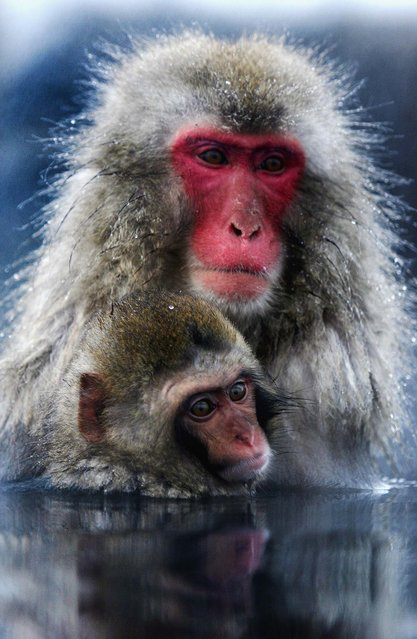 A Japanese macaque monkey and her baby enjoy sitting in the hot springs at Jigokudani-Onsen (Hell Valley) in Nagano-Prefecture, Japan. Japanese Macaques, also known as snow monkeys, are the most northerly nonhuman primate in the world. (Photo by Koichi Kamoshida/Getty Images)