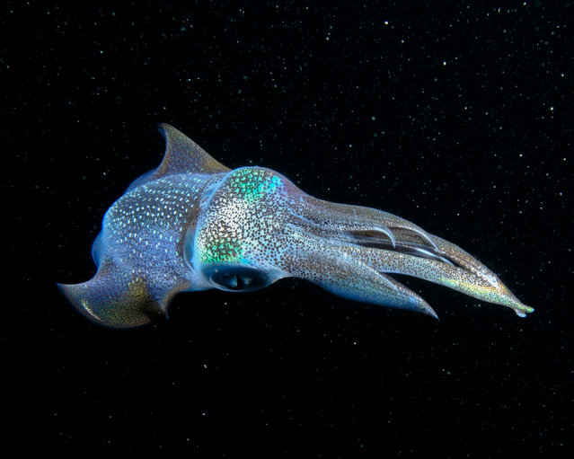 """The Galactic Squid"". While on a night dive in the waters off Okinawa Japan this reef squid showed up. The time and Air i spent trying to get close to him paid off. Location: Okinawa, Japan. (Photo and caption by Cameron Knudsen/National Geographic Traveler Photo Contest)"