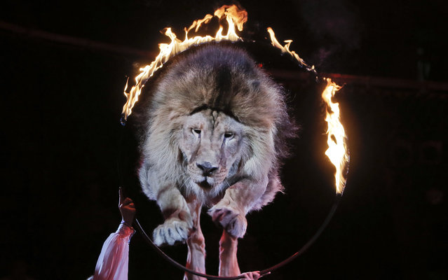 A lion jumps through a burning ring during a performance by circus artists Veronika and Oleksiy Pinko in Ukraine's National Circus in Kiev, Ukraine, Thursday, June 27, 2013. (Photo by Efrem Lukatsky/AP Photo)