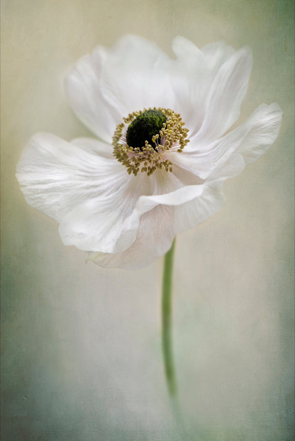 Anemone de Caen by Jacky Parker, Buckinghamshire, United Kingdom. (Photo by Jacky Parker/International Garden Photographer of the Year)