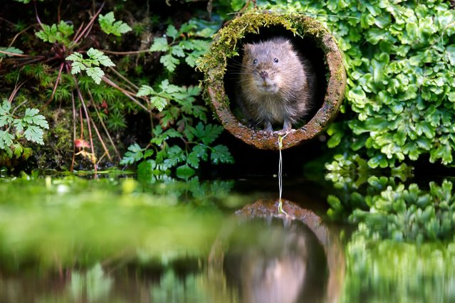A cute water vole snapped by amateur photographer Mark Bridger, on September 7, 2013. (Photo by Mark Bridge/Caters News)