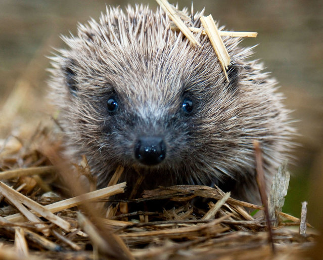 Cotswold gamekeeper shoots amazing pictures of British wildlife – without the aid of long lenses and elaborate techniques. Increasingly rare hedgehog. (Photo by Adam Tatlow/BNPS)