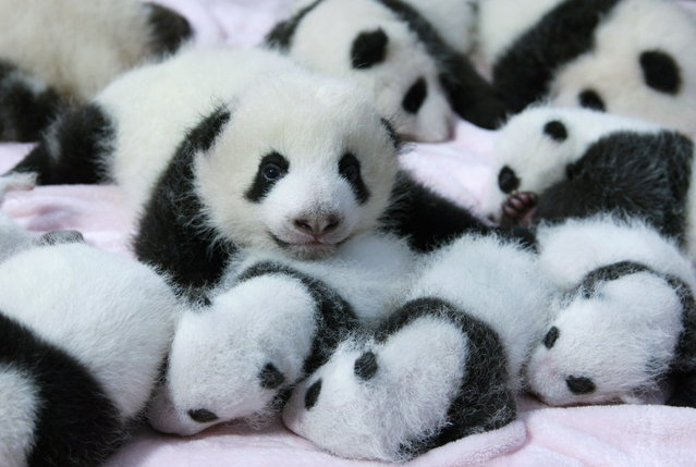 Giant panda cubs lie in a crib at Chengdu Research Base of Giant Panda Breeding in Chengdu, Sichuan province, September 23, 2013. Fourteen new joiners to the 128-giant-panda-family at the base were shown to the public on Monday, according to local media. (Photo by Reuters/China Daily)