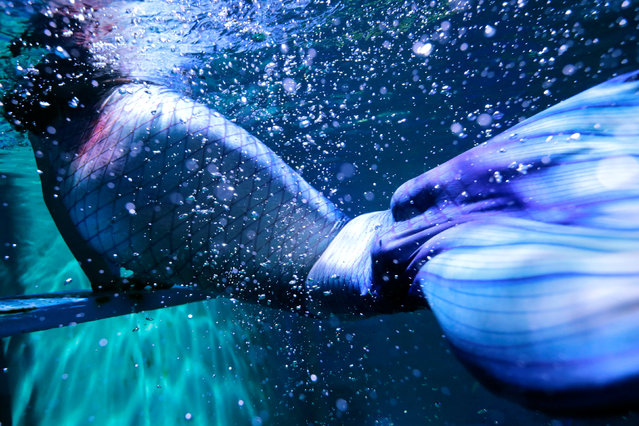 Huang Xiaoying, 24-year-old, practices her mermaid swim in an aquarium after graduating from a mermaid workshop in Guangzhou, Guangdong Province, China December 16, 2016. (Photo by Tyrone Siu/Reuters)