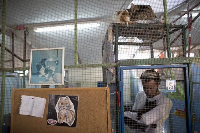 A volunteer treats a cat in the shelter house for feral cats at the SPCA (Society for Prevention of Cruelty to Animals) in Jerusalem, Israel, 06 January 2016. (Photo by Abir Sultan/EPA)