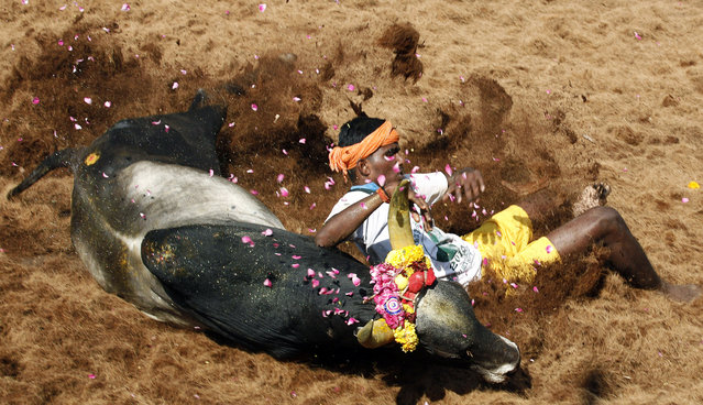A bull tamer falls while trying to control a bull during the bull-taming sport called Jallikattu, in Alanganallur, about 530 kilometers (331 miles) south of Chennai, India, Wednesday, January 16, 2013. (Photo by Arun Sankar K./AP Photo)