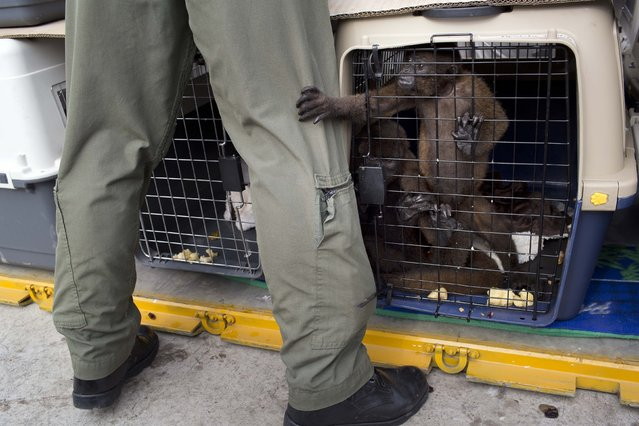 In this April 18, 2015 photo, a rescued monkey reaches out from a pet carrier to touch the pant leg of an Animal Defenders International worker, on the tarmac of a military airport in Lima, Peru. (Photo by Rodrigo Abd/AP Photo)