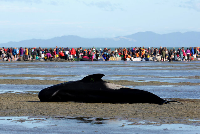 """Volunteers attend to some of the hundreds of stranded pilot whales still alive, as one lies on a sandbank marked with an """"X"""" to indicate it has died, after one of the country's largest recorded mass whale strandings, in Golden Bay, at the top of New Zealand's South Island, February 10, 2017. A new pod of 240 whales swam aground at a remote New Zealand beach on Saturday just hours after weary volunteers managed to refloat a different group of whales following an earlier mass stranding. In total, more than 650 pilot whales have beached themselves along a 5 kilometer (3 mile) stretch of coastline over two days on Farewell Spit at the tip of the South Island. About 335 of the whales are dead, 220 remain stranded, and 100 are back at sea. Department of Conservation Golden Bay Operations Manager Andrew Lamason said they are sure they're dealing with a new pod because they had tagged all the refloated whales from the first group and none of the new group had tags. The news was devastating for hundreds of volunteers who had come from around the country to help with the initial group of 416 stranded whales that was found early Friday, many of them already dead. Lamason said improved weather and crystal clear water had helped with the rescue attempt. He said about 100 surviving whales from the initial group were refloated, and dozens of volunteers had formed a human chain in the water to prevent them from beaching again. He said volunteers were warned about the possibility of stingrays and sharks, after one of the dead whales appeared to have bite marks consistent with a shark. He said there had been no shark sightings. Officials will soon need to turn to the grim task of disposing of hundreds of carcasses. Lamason said one option was to tether the carcasses to stakes or a boat in the shallow tidal waters and let them decompose. The problem with towing them out to sea or leaving them was that they could become gaseous and buoyant, and end up causing problems by floating into """