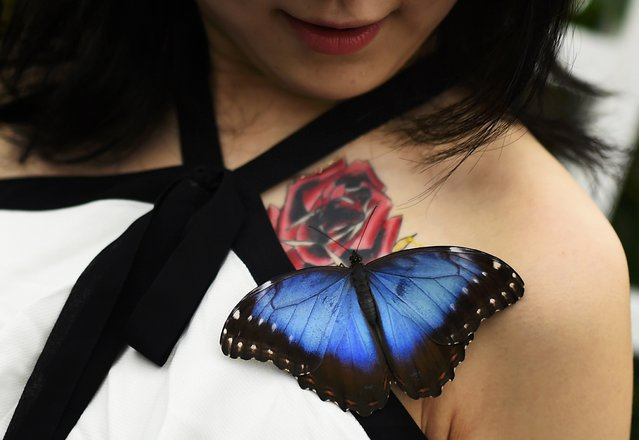 Rose, a Japanese TV journalist, smiles as she poses with a Morpho butterfly during an event to launch the Sensational Butterflies exhibition at the Natural History Museum in London, Britain March 23, 2016. (Photo by Dylan Martinez/Reuters)