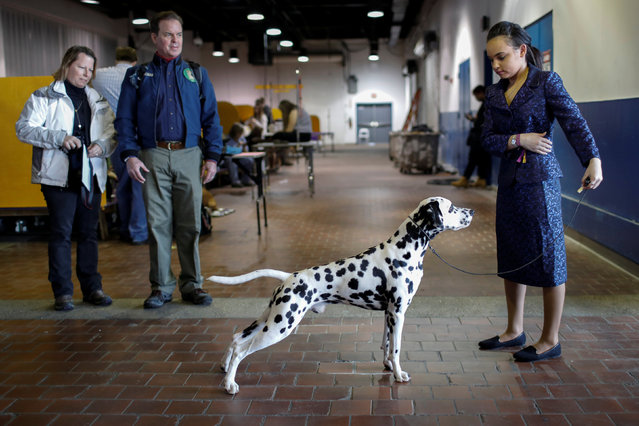 A handler stands with a Dalmatian as they practice in the benching area before competition at the 141st Westminster Kennel Club Dog Show in New York City, February 13, 2017. (Photo by Mike Segar/Reuters)