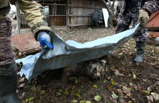 Hunters cover a dead wolf after the hunt in the village of Khrapkovo, Belarus November 4, 2016. Wolf fur grows thickest in winter, so Belarussian hunter Vladimir Krivenchik only sets his traps once snow is on the ground. He and his wife live on the edge of the Chernobyl exclusion zone – 2,600 square km of land on the Belarus-Ukraine border that was contaminated by a nuclear disaster in 1986. The zone's resurgent wolf population poses a threat to nearby livestock, so local farms pay hunters like Krivenchik a flat fee of 150 Belarussian roubles ($80) for each wolf they kill. Wolf numbers are more than seven times higher in the Belarussian part of the Chernobyl zone than in uncontaminated areas elsewhere in the region, according to a study published in scientific journal Current Biology in 2015. According to official data, about 1,700 wolves were culled in 2016. (Photo by Vasily Fedosenko/Reuters)