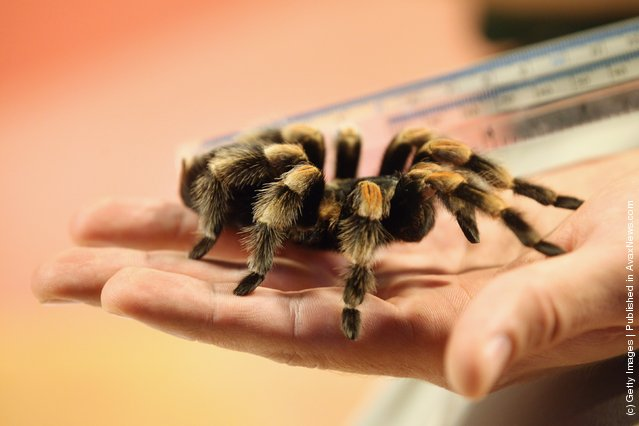 Zookeeper measures a Mexican Red-Kneed Tarantula