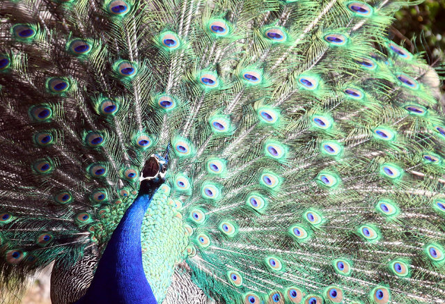 A peacock displays his plumage as part of a courtship ritual to attract a mate during a sunny day at the Hellabrunn zoo in Munich, Germany, May 2, 2019. (Photo by Michael Dalder/Reuters)