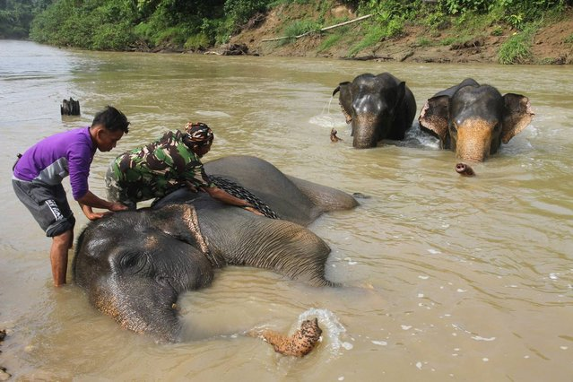 Indonesian mahouts (elephant masters) bathe elephants prior to a daily patrol at a Conservation Respons Unite (CRU) to control elephant-human conflicts in Serbajadi, East Aceh on April 7, 2016. Elephants have joined the front line in the fight against poaching and illegal logging in the dense jungles of Sumatra. Guided by their Indonesian mahouts, they trek alongside rivers, over rough terrain and deep into the rainforest in an area that is home to numerous endangered species, from orangutans to tigers, but which has suffered devastating deforestation in recent years. (Photo by AFP Photo/Januar)