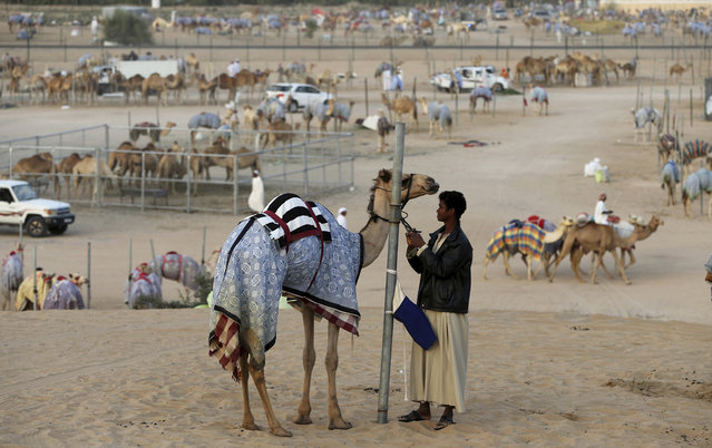 In this Saturday, April 8, 2017 photo, a camel keeper prepares a camel for the morning race near the Al Marmoom Camel Racetrack, in al-Lisaili about 40 km (25  miles) southeast of Dubai, United Arab Emirates. (Photo by Kamran Jebreili/AP Photo)
