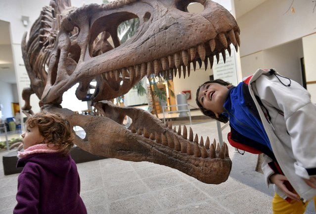 A boy looks inside the skull of a Tyrannosaurus Rex replica at the Egidio Feruglio Museum in Trelew, Argentina, in this May 18, 2014 file photograph. Scientists on July 28, 2015 unveiled a comprehensive analysis of the teeth of the group of carnivorous dinosaurs called theropods, which include the Tyrannosaurus Rex, detailing a unique serrated structure that let them chomp efficiently through the flesh and bones of large prey. (Photo by Maxi Jonas/Reuters)