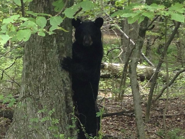 A black bear stands in a wooded area in Newton, New Jersey, July 12, 2015. New Jersey, the U.S. State most densely populated by humans, is also thick with black bears, and wildlife officials are set to vote on August 11, 2015 on a plan to expand hunting season months after the state's first fatal attack. (Photo by Barbara Goldberg/Reuters)