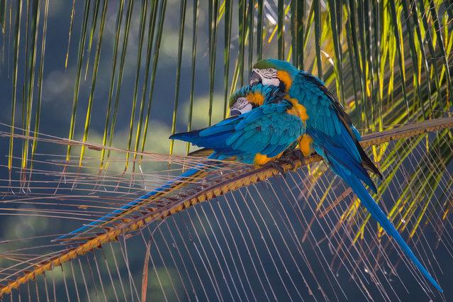A couple of blue-and-yellow macaw (Ara ararauna) perch up a branch of a chaguaramo tree (Roystonea oleracea) in Caracas, Venezuela, 03 January 2020. (Photo by Miguel Gutiérrez/EPA/EFE)