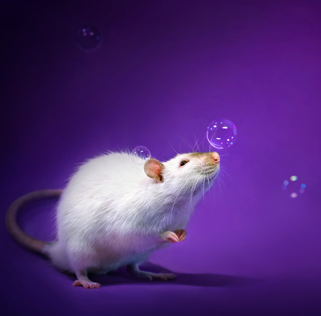 The idea stemmed from fostering abused and abandoned rats in the hope of finding them new homes, Diane said, as in order to get them adopted, the photographer had to shoot cute pictures to make them more appealing to wannabe pet owners. (Photo by Diane Ozdamar/Caters News)