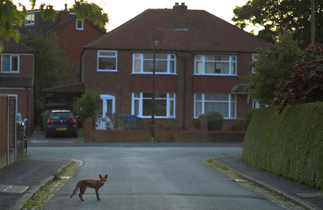 A young fox stands on a residential road as the spread of the coronavirus disease (COVID-19) continues in Manchester Britain, May 13, 2020. (Photo by Phil Noble/Reuters)