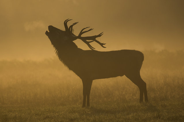 A deer is seen bugling in the morning mist in Richmond Park on September 23, 2014 in London, England. Tuesday marks the autumn equinox where day and night are of equal lengths. (Photo by Rob Stothard/Getty Images)