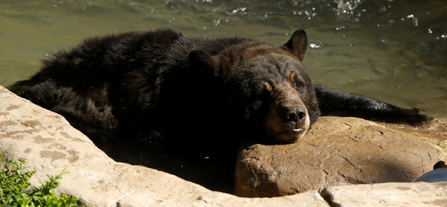 An American black bear bathes in its enclosure during a summer day at the Los Angeles Zoo in Los Angeles, California U.S., August 13, 2016. (Photo by Mario Anzuoni/Reuters)