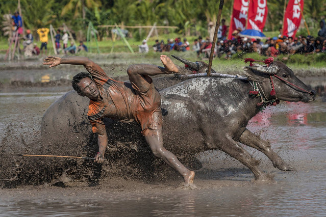 A jockey falls from his buffalos during Barapan Kebo or buffalo races as part of the Moyo festival on September 30, 2014 in Sumbawa Island, West Nusa Tenggara, Indonesia. (Photo by Ulet Ifansasti/Getty Images)