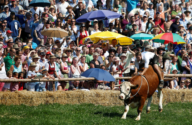 Farmer Franz Schaller rides on an ox called Napoleon during a traditional ox race in the southern Bavarian village of Muensing near Lake Starnberg, Germany August 28, 2016. (Photo by Michaela Rehle/Reuters)