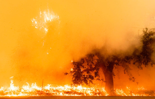 Flames and smoke overtake a tree as the LNU Lightning Complex fire continues to spread in Fairfield, California on August 19, 2020. Thousands of people fled their homes in northern California on August 19 as hundreds of fast-moving wildfires spread across the region, burning houses and leading to the death of a helicopter pilot. (Photo by Josh Edelson/AFP Photo)