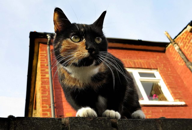 A cat sits on a wall in London, March 2, 2013. The London Zoo is launching what it says is the first interactive map of the British capital's domestic cats. The zoo said that its interface would allow Londoners to upload scientific survey-style photos, descriptions, and locations of their cats, creating a capital-wide census of the city's felines. (Photo by Kirsty Wigglesworth/Associated Press)