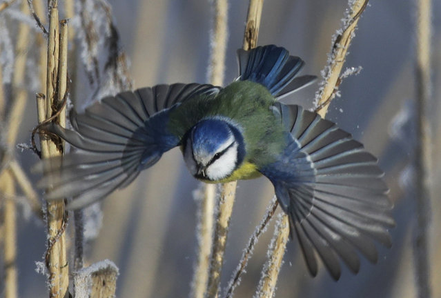 A blue tit flies among dried plants covered with hoarfrost near the Belarus village of Dukora, some 40 km (25 miles) southeast of Minsk, Monday, February 26, 2018. The temperatures in Belarus reached –19 Celsius (–2,2 degrees Fahrenheit). (Photo by Sergei Grits/AP Photo)